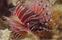 Zebra Lionfish Portrait 2