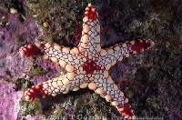 Sea Star Juvenile