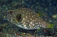 White-Spotted Puffer Juvenile
