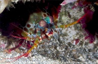 Peacock Mantis Shrimp Portrait