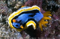 Lembeh Nudibranch 21