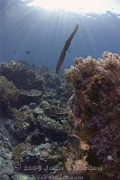 Trumpetfish in Sunburst