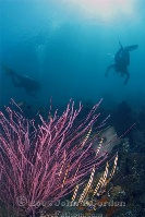 Razorfish on Pink Whip Coral