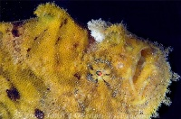 Hispid Frogfish Portrait