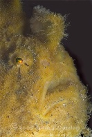 Hispid Frogfish Portrait 2