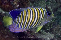 Regal Angelfish Profile