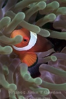 False Clown Anemonefish Portrait