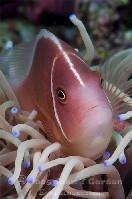 Pink Anemonefish Portrait