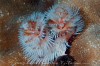 Christmas Tree Worm, Red & Blue