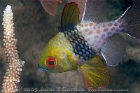 Pajama Cardinalfish Profile