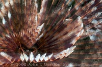 Feather Duster Worm Close up