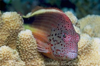 Freckled Hawkfish Portrait 2