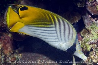 Threadfin Butterflyfish Profile 2