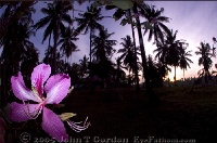 Orchid in Kima Bajo Sunrise 2