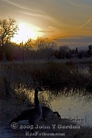 Canadian Geese in Sunset