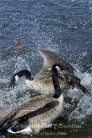 Canadian Geese Fighting