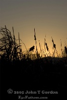 Red-winged blackbird in Sunset
