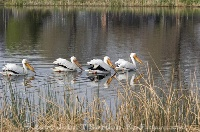 American White Pelicans Swimming