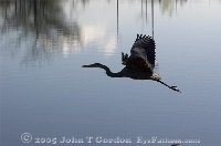 Great Blue Heron over Lake