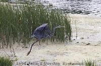 Great Blue Heron Lifting off 3
