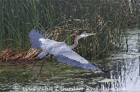 Great Blue Heron Lifting off 4