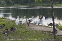 White Pelican mingling with Geese