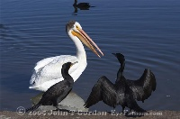 White Pelican with Cormorants 2
